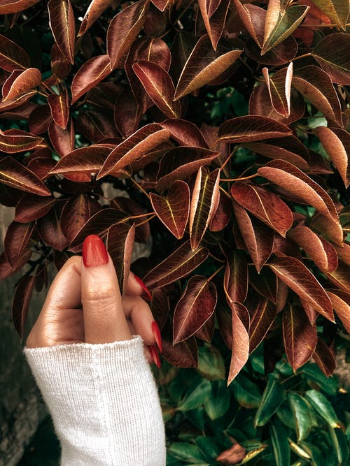 Person in White Knit Sweater Holding Red Leaves