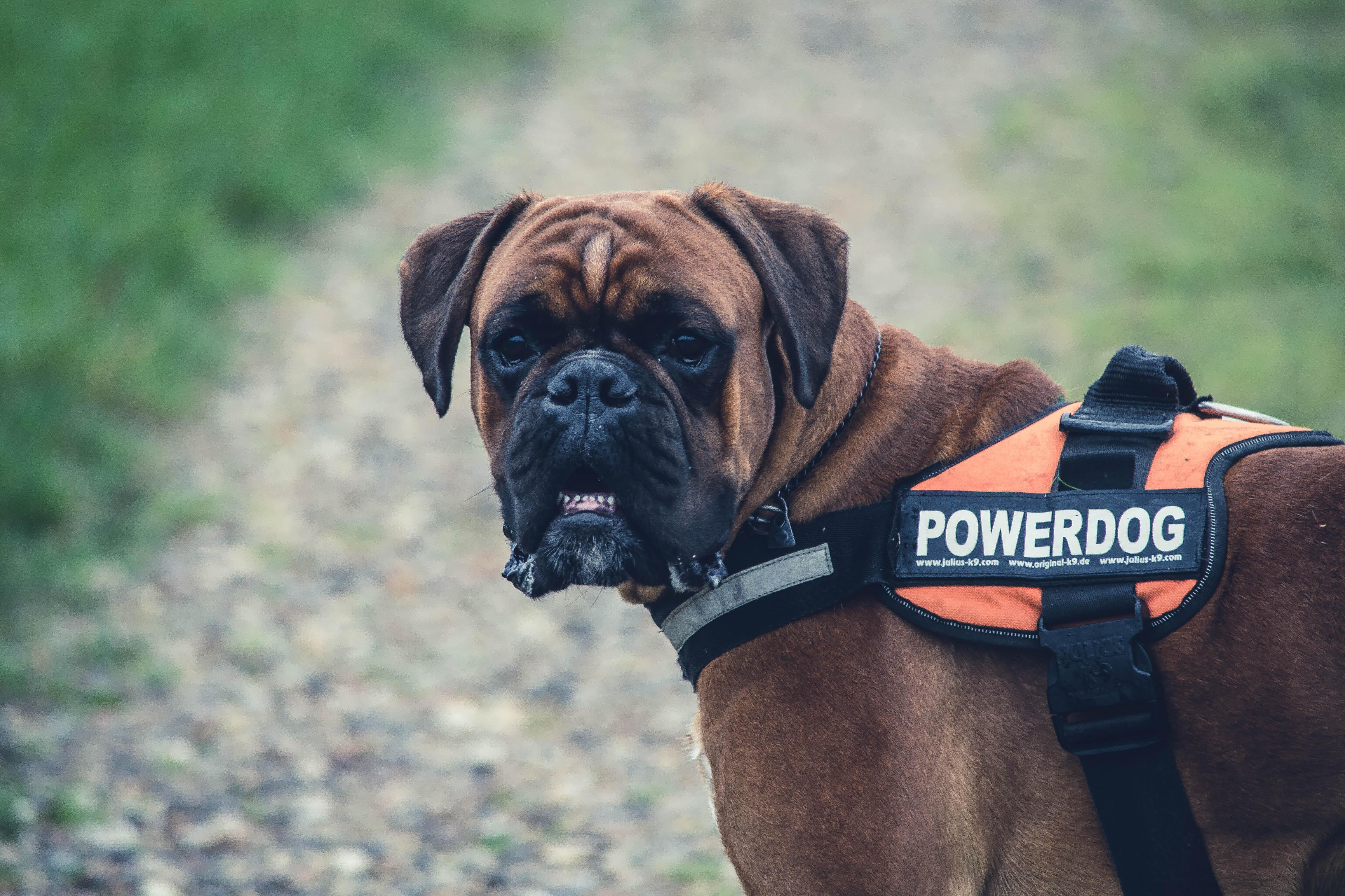 Brown Boxer Dog With Orange Black Powerdog Vest