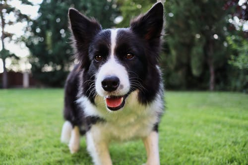 Black and White Border Collie on Green Grass Field