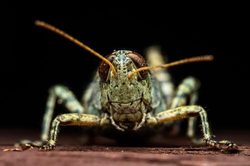 Brown and Black Grasshopper in Close Up Photography