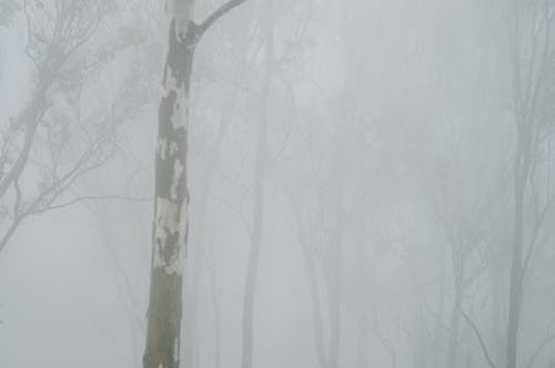 Misty forest with dried bark and leafless trees