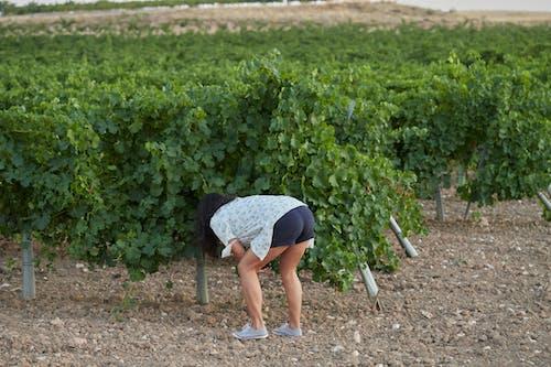 Free stock photo of uva, vine