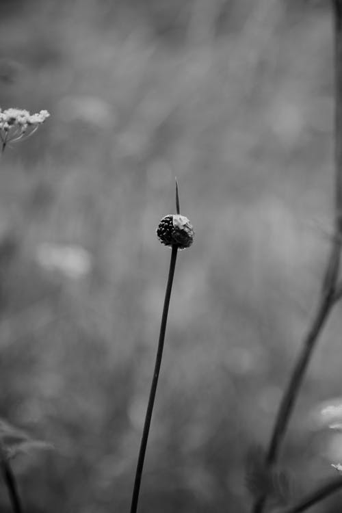 Black and white of thin stem with bud growing near blooming flowers in meadow