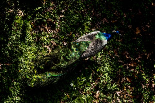 Peacock on Green Grass