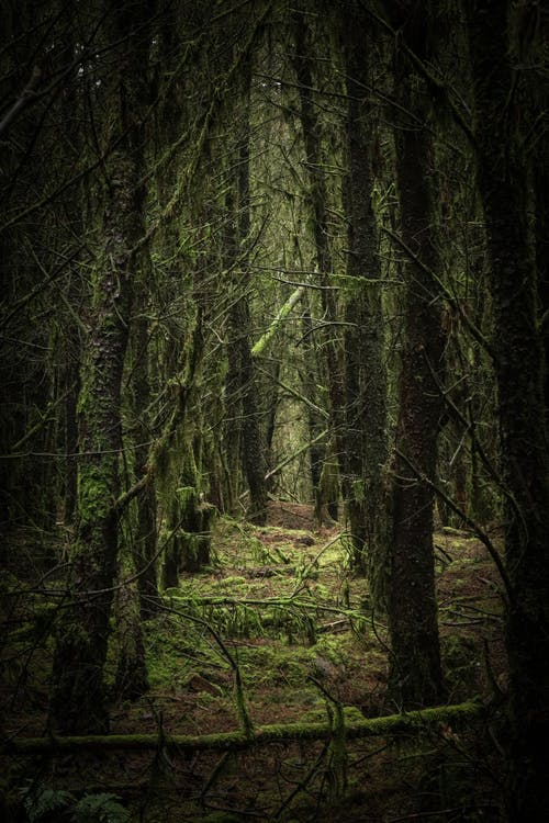 Mysterious green forest with densely growing trees with branches covered with lush green moss