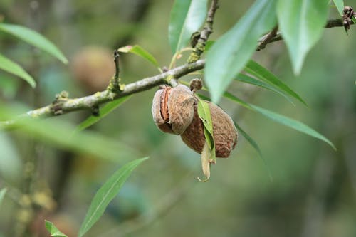 Macro Photography of Almonds in a Tree