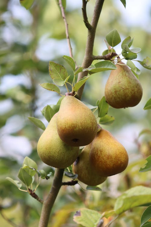 Close-Up Shot of Pears on a Tree