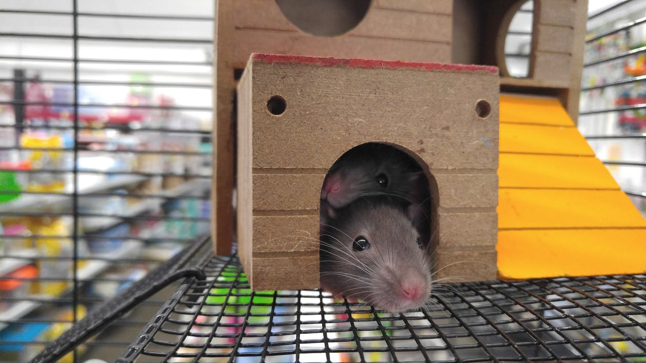 Two Gray Mice Inside Brown House
