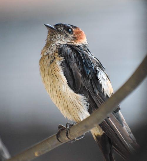 Free stock photo of barn swallow, bird, bird chirping