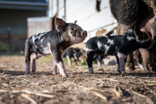 Adorable spotted mini pig standing on ground while another piglet sucking sows in farmyard