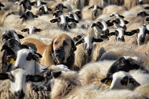 Immagine gratuita di alla ricerca, animale, bestiame