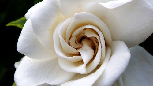 çiçek, gardenya içeren Ücretsiz stok fotoğraf