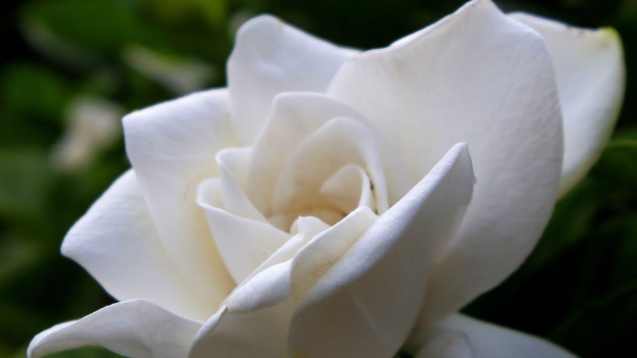 flower, gardenia