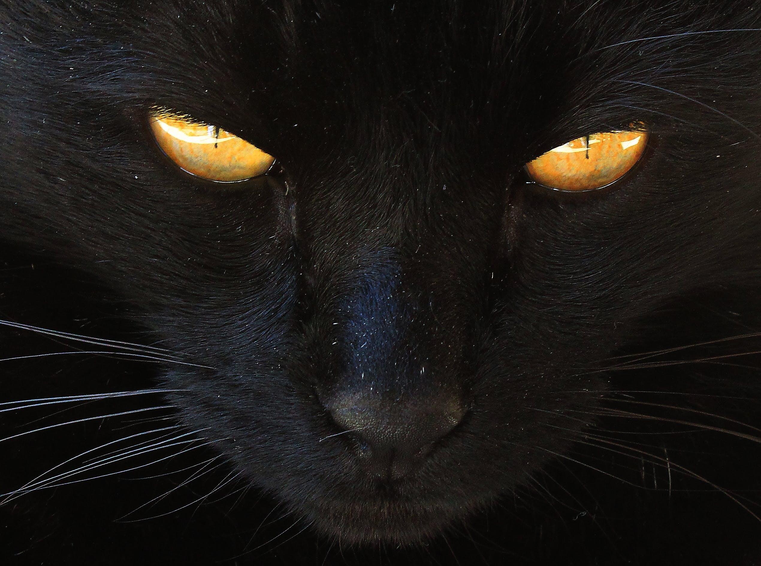 Free stock photo of cat, cats eyes, yellow eyes