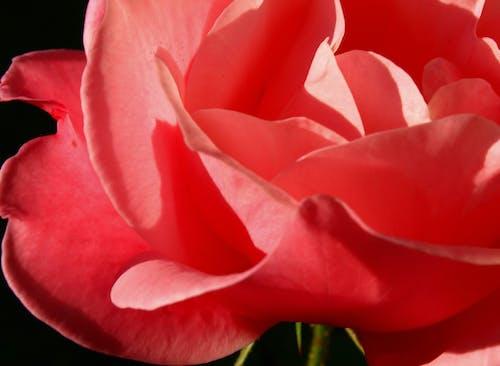 Základová fotografie zdarma na téma okvětní lístky, plátky růží, růže, růžová květina