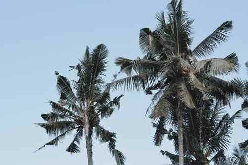 Low-Angle Shot of Coconut Trees