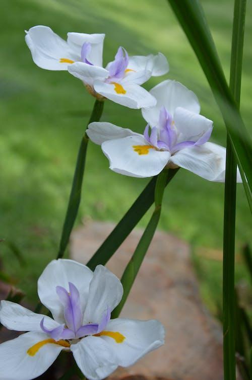 アイリスの花の無料の写真素材