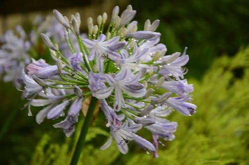 露アガパンタの花の無料の写真素材