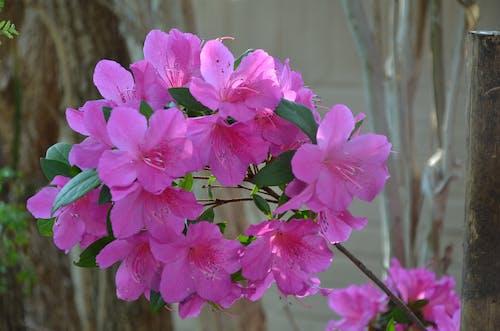 つつじの花の無料の写真素材