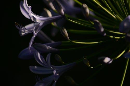 アガパンタの花の無料の写真素材