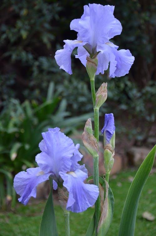 花, 虹彩の無料の写真素材