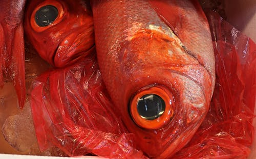 Free stock photo of red fish
