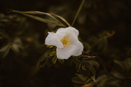 Blooming white rose Cherokee in green garden