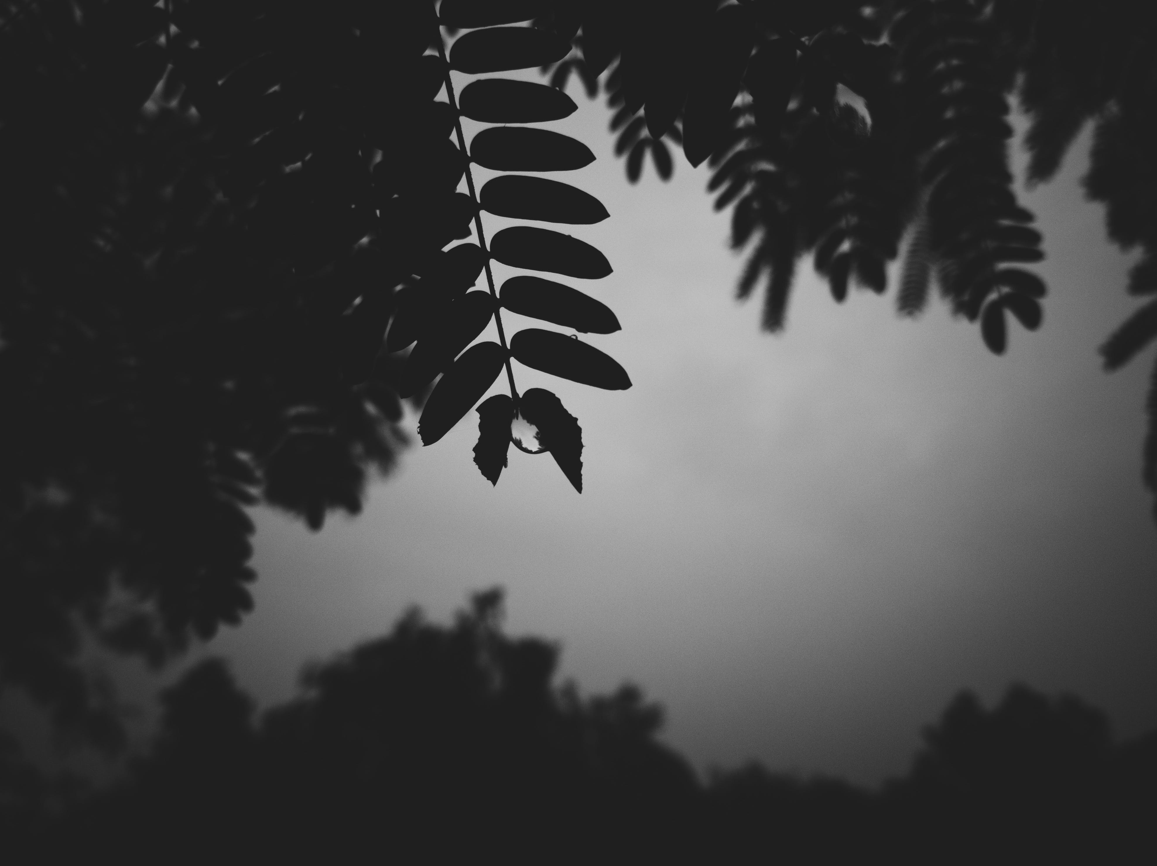 Free stock photo of black and white, dew, dewdrop, leaves