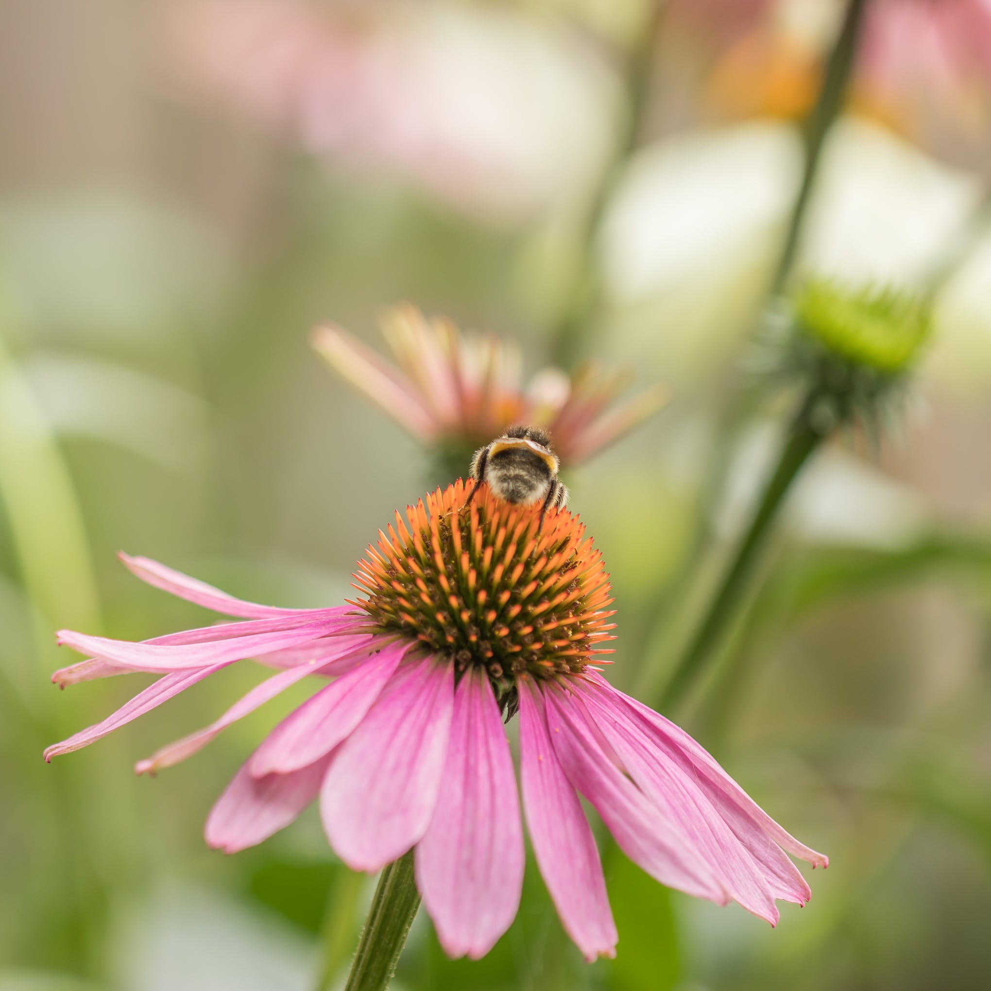 Selective Focus Photography of Bee Fetched on Pink Flower