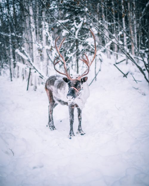 A Reindeer Standing on Snow Covered Ground