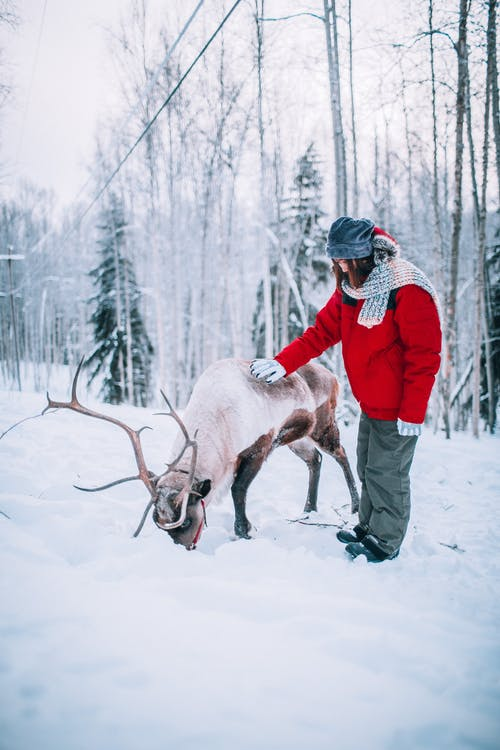A Person in Red Winter Jacket Touching a Reindeer