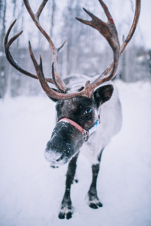 Close-Up View of a Reindeer Standing on Snowy Ground