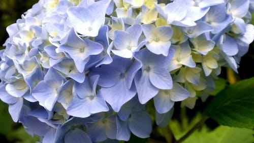 Immagine gratuita di fiore, ortensia
