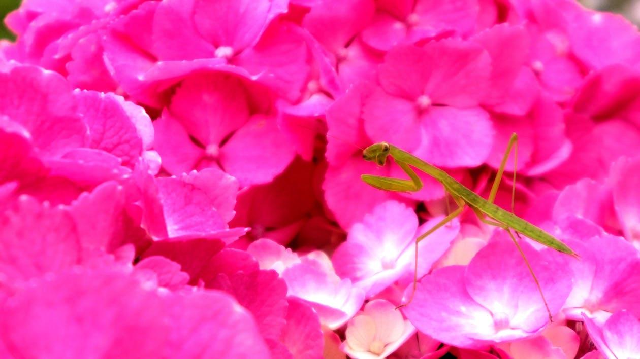 czerwony, hortensja, kwiat