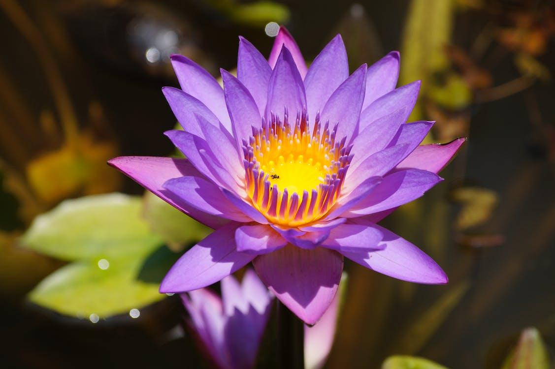 Free stock photo of manel flower, nil manel