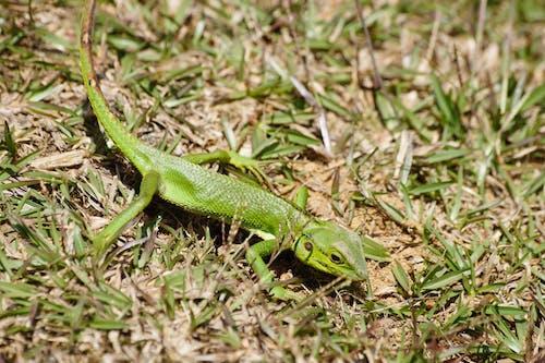 Free stock photo of green lizard, katussa, lizard