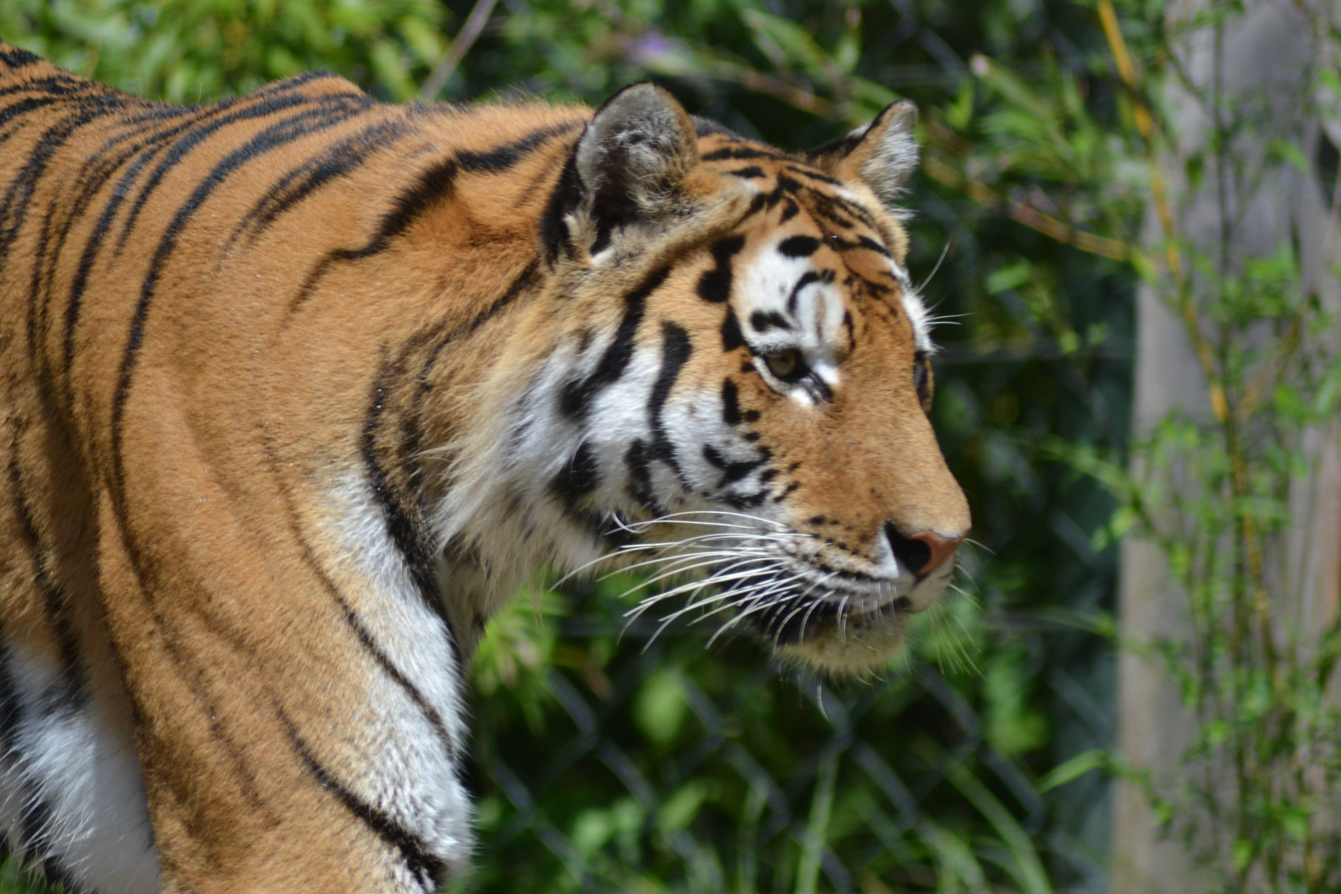 Free stock photo of graceful, tiger
