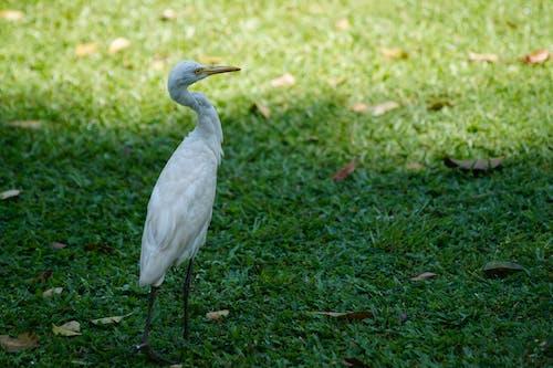 Free stock photo of koka, White Egret Crane