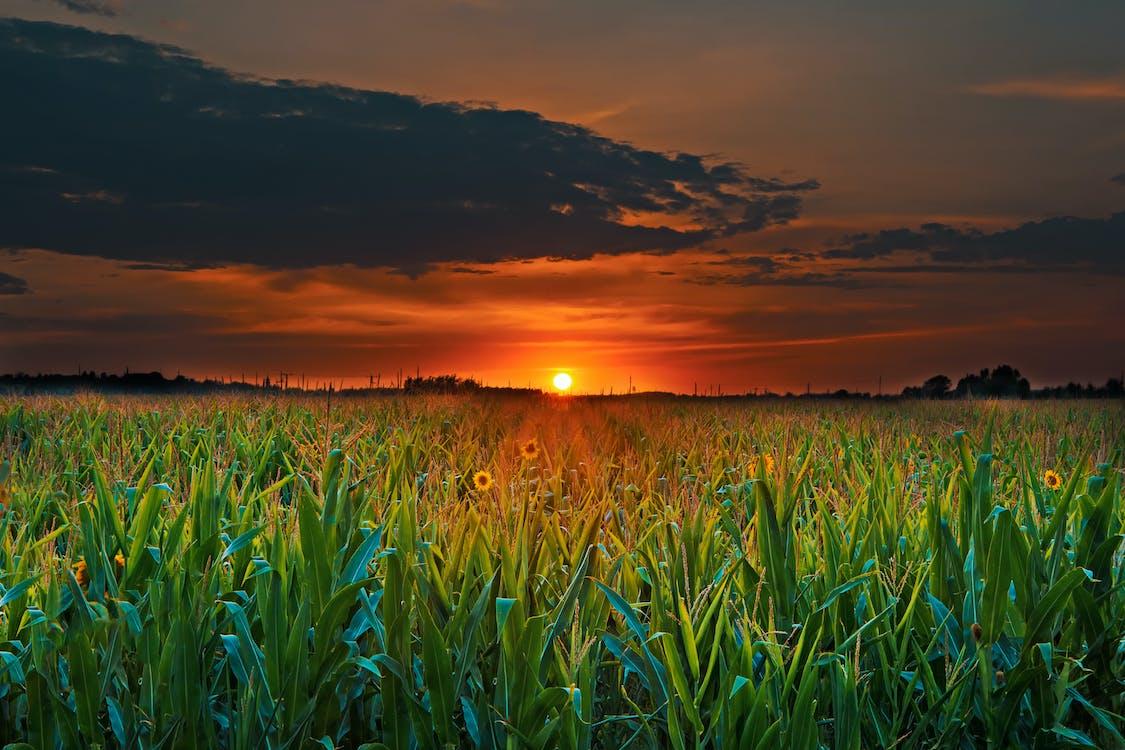 aube, champ de maïs, ciel