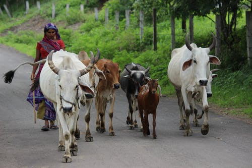 A Woman Herding Her Cows