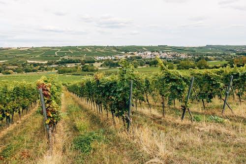 Photos gratuites de agriculture, campagne, cave viticole