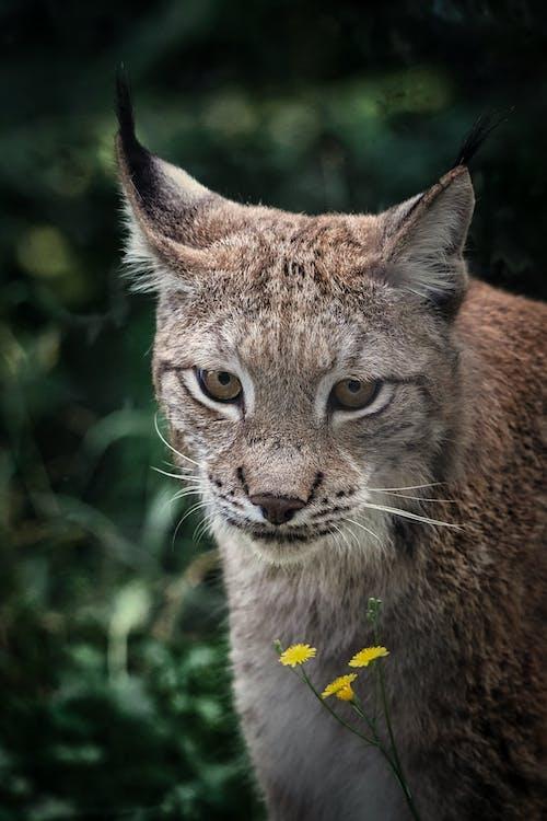 兇猛, 凝視, 動物 的 免費圖庫相片