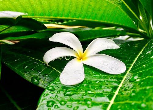 Free stock photo of childhood, fragance, frangipani, freshness