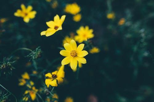 Gentle yellow Bidens aristosa flowers blooming in garden