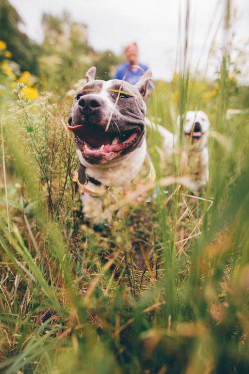 Adorable purebred dogs playing in meadow with owner