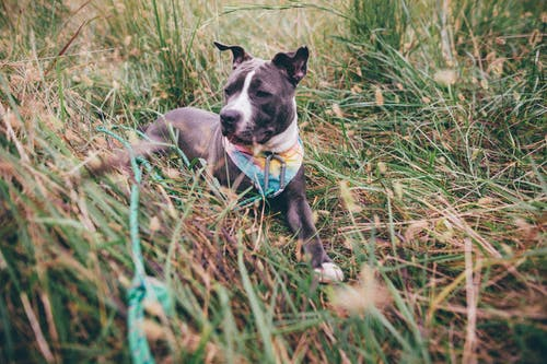 From above of obedient American Pit Bull Terrier in collar sitting on dry grass in countryside and looking away