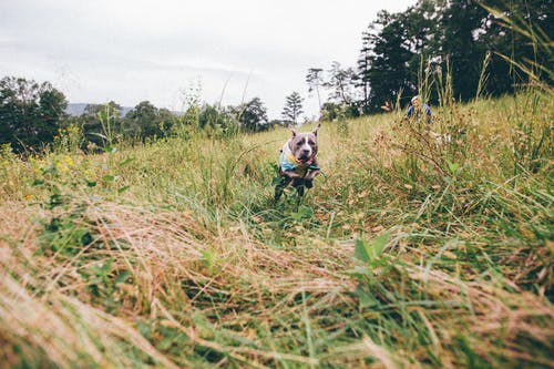Active American Pit Bull Terrier running in meadow on cloudy day
