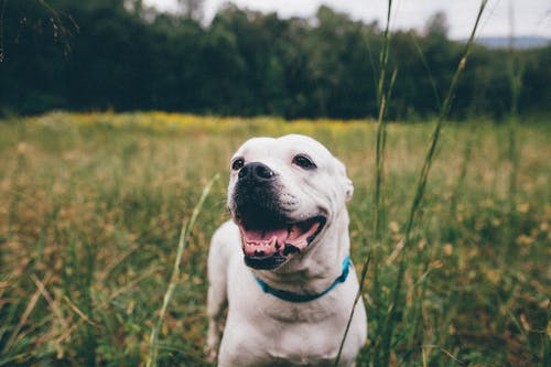 Funny white American Bulldog with opened mouth standing in meadow and looking away with curiosity on cloudy day