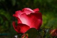 nature, red, garden