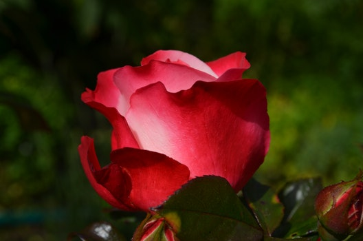Red Rose in Daytime